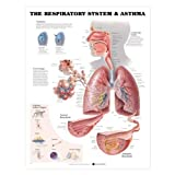 The Respiratory System and Asthma Anatomical Chart