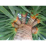 Seeds and Things 10 PLUS Dracaena draco DRAGON TREE SEEDS