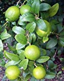"Everbearing Persian Lime Tree - Potted - Fruit Bearing Size - 8"" Pot - Citrus"