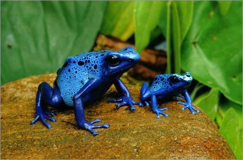 impresion-en-madera-60-x-40-cm-blue-poison-dart-frogs-de-george-grall-national-geographic