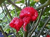 Saavyseeds Carolina Reaper Pepper Seeds - 35 Count - One HOT Pepper!
