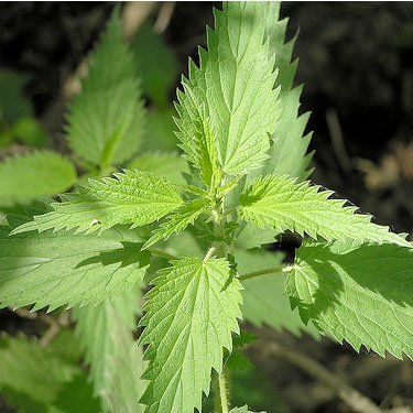 200 Seeds, Stinging Nettle (Urtica dioica) Seeds by Seed Needs