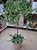 New Arrival!!! 15/bag Olive Bonsai tree (Olea Europaea) Seeds, Bonsai Mini Olive Tree, Olive Bonsai Fresh Exotic Tree Seeds