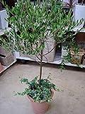 15/bag Olive Bonsai tree (Olea Europaea) Seeds, Bonsai Mini Olive Tree, Olive Bonsai Fresh Exotic Tree Seeds