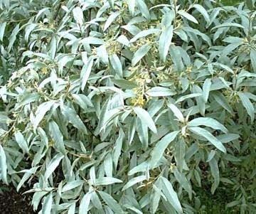 eleagnus-quicksilver-plant-in-a-19-20cm-pot