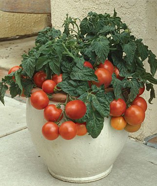 Patio Princess Hybrid Tomato 200 Seeds By Jays Seeds (Hybrid Tomato Plants compare prices)