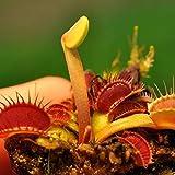 Idealhere 食虫植物ハエトリソウ種  金星ハエトリソウ 10粒 新品種  ガーデニング