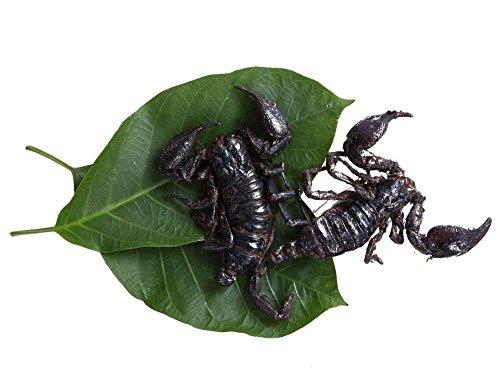 1-x-edible-thai-black-scorpion-real-edible-insects-bush-tucker