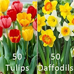 50 Tulip Bulbs and 50 Daffodils Collection - Fall Planted Flower Bulbs