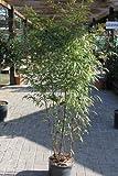 Phyllostachys nigra - Bambou noir - GRANDES PLANTES, hauteur environ 1,8m