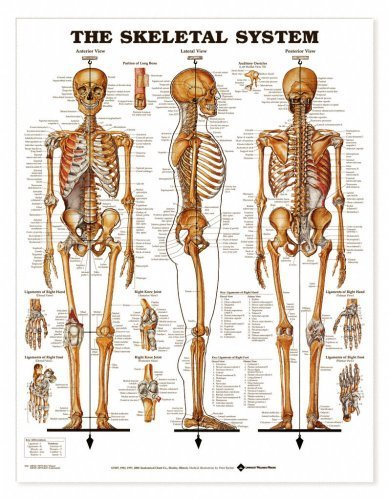 Buy Anatomical Chart from Amazon
