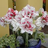 Elvas Amaryllis Bulb - Single Blooming Amaryllis, Easy to Grow Bulbs