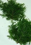 国産 檜葉(ヒバ)30cm~35cm×10枚