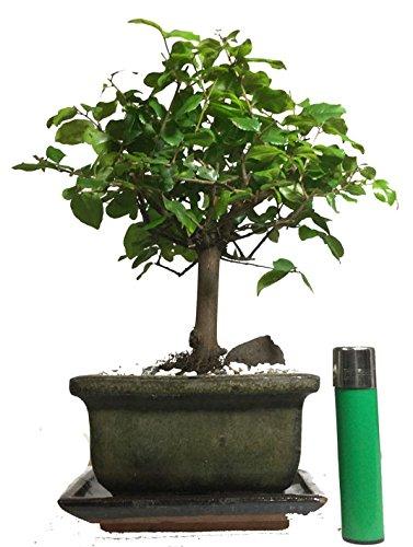 sa10-chinese-bird-plum-flowering-indoor-bonsai-tree-with-ceramic-drip-tray