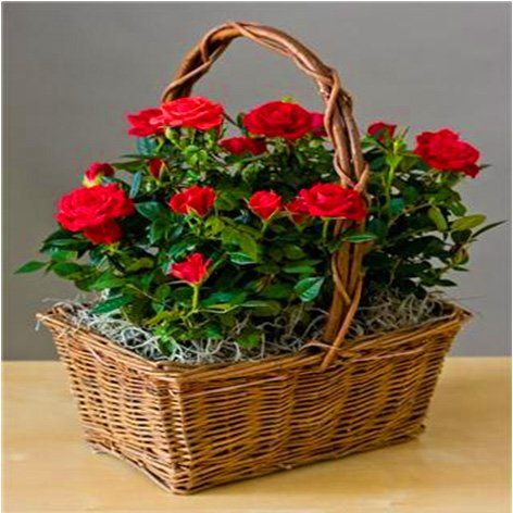 Red Rose Garden In a Basket- Cut Flower Deliver Alternative- Green Housewarming Gift that Ships Via 2-Day Air!