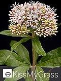 Hemp Agrimony, (Eupatorium cannabinum) Plant - 25 plug plants