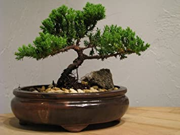 Juniper Tree Bonsai Tree Best Gift
