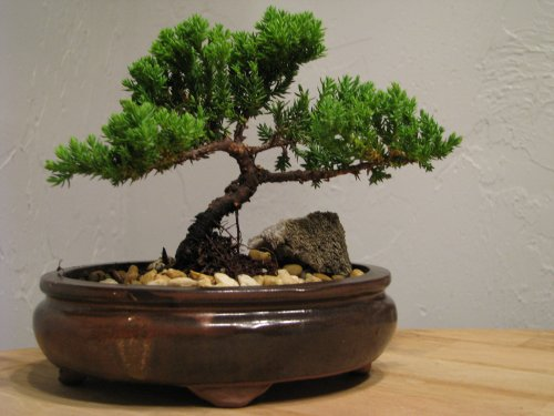 A Bonsai Juniper Tree 4 Years Old