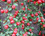 Cotoneaster horizontalis (Herringbone cotoneaster) 3 ltr pot