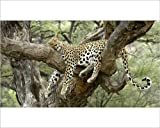 Photographic Print of Leopard – resting in tree