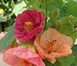 SD1451 Mixed Color Ornamental Abutilon Flower Seeds, New Fresh Seeds (30 Seeds)
