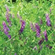 Hairy Vetch Seeds: Untreated, Non-GMO, 10 lbs.