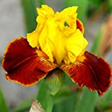 Bearded Iris All That Jazz (3)