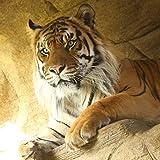 Jae Jae the Tiger adoption
