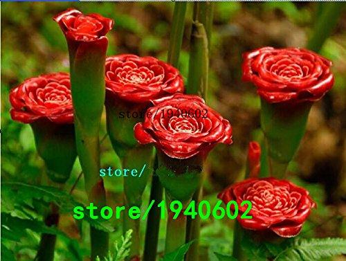 rare-red-carnation-lampadina-rossa-up-lamp-semi-perenne-fiore-professional-service-pack-50-semi-pack