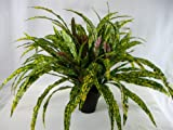 50cm Artificial Giant Codiaeum Goldstar Plant in Pot ~ Office Plant ~ Home & Conservatory Decoration