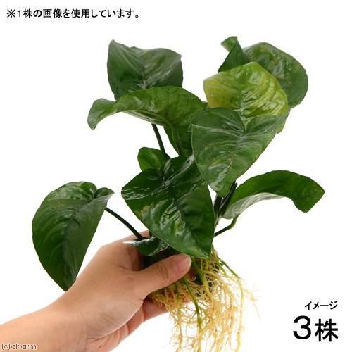 (水草)アヌビアス バルテリー バタフライ(3株) 本州・四国限定[生体]