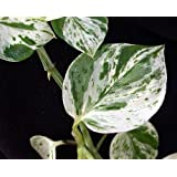 "Hirt's 'Marble Queen' Devil's Ivy - Pothos - Epipremnum - 4"" Pot - Easy to Grow"