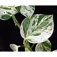 'Marble Queen' Devil's Ivy - Pothos - Epipremnum - Very Easy to Grow