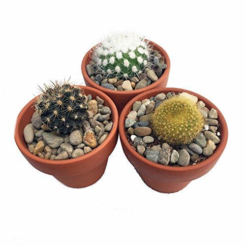 instant-cactus-collection-3-different-plants-3-pots