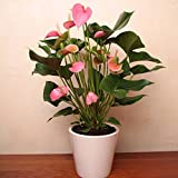 Anthurium Pink Champion - 1 plante
