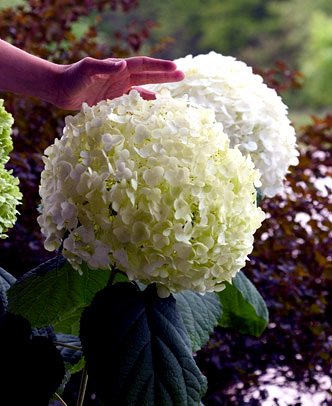 'Incrediball' Hydrangea Perennial - Huge Flowers