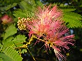 EXOTIC TREE Albizia julibrissin SILK TREE IDEAL BONSAI STARTER summer flowering tree
