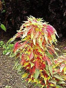 *Rare*6'-8'Ft.*Giant Amaranthus Tricolor Joseph'S Coat *25 Seeds *Showy* #1071-A