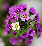SD1500-0174 Lobularia Alyssum Seeds, Fuchsia Color (400 Seeds)