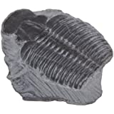 American Educational Elrathia King Trilobite Fossil (Pack of 10)