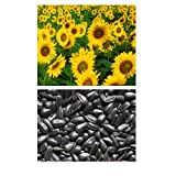 alkarty sunflower seed 10 pices