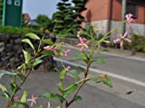 【6か月枯れ保証】【つる性】テイカカズラ/ピンク花 10.5cmポット