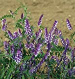Cover Crop Hairy Vetch, Vicia villosa 1 Pound Organic Seeds by David's Garden Seeds
