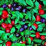 Outsidepride Capsicum Annuum Filius Blue - 1000 seeds