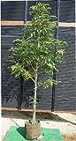 シマトネリコ 一本立ち! 樹高1.5m シンボルツリーや目隠しに最適♪生産者直売品!