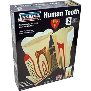Lindberg Human Tooth