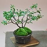 盆栽妙 長寿梅の盆栽 黒かま手造り丸鉢 幅15cm×樹高16cm