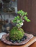 年に数回可憐な花が楽しめます。名前も縁起がいいでしょ?【白長寿梅の苔玉・くらま岩器セット】 (黒石)
