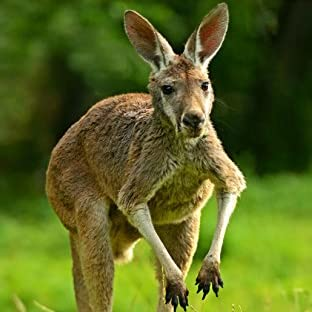 Kangaroos (Let's Learn About) (English Edition)