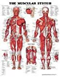 The Muscular System Anatomical Chart (Laminated) Anatomical Chart Company